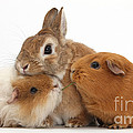 Rabbit And Guinea Pigs by Mark Taylor