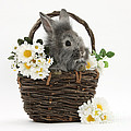 Rabbit In A Basket With Flowers by Mark Taylor