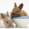 Rabbits And China Bowl by Mark Taylor