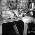 Rabid Fox, 1958 by Science Source