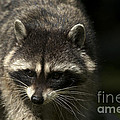 Raccoon 2 by Sharon Talson
