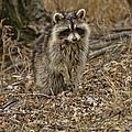 Raccoon by Alan Hutchins