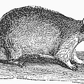 Raccoon by Granger