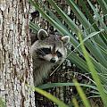 Raccoon by Jim Johnson