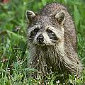 Raccoon Looking For Lunch by Myrna Bradshaw