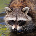 Raccoon Portrait by Bruce J Robinson