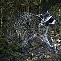 Racoon Emerging From The Woods by Randall Nyhof