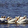 Raft Of Pelicans by Diana Cox
