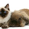 Ragdoll Kitten And Lionhead Rabbit by Mark Taylor