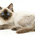 Ragdoll Kitten by Mark Taylor