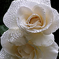 Rain Drop Roses by Karey and David Photography