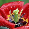 Rain Kissed Tulip 2 by Teresa Zieba