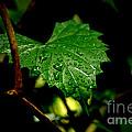 Rain On Ivy by David Weeks