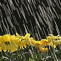 Rain On Yellow Daisies by Natural Selection Craig Tuttle