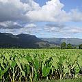 Rain Over A Hanalei Taro Field by Mary Deal