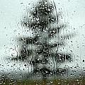 Rain Tree by Douglas Pike