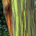 Rainbow Gum Tree Hawaii by Bob Christopher