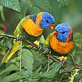 Rainbow Lorikeet Pair by Matthias Breiter