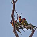 Rainbow Lorikeets by Douglas Barnard