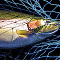 Rainbow Trout by Bill Schaudt