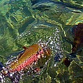 Rainbow Trout on the Move