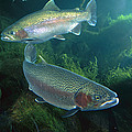 Rainbow Trout Oncorhynchus Mykiss Pair by Michael Durham