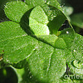 Raindrop Clover by Tyra  OBryant
