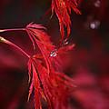 Raindrop On Japanese Maple by Sarah Broadmeadow-Thomas
