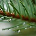 Raindrops And Fir Needles by Beth Akerman