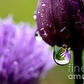 Raindrops On Chives by Thomas R Fletcher
