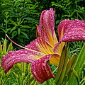 Raindrops On Lilly by Alan Hutchins