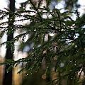 Raindrops On The Spruce Twig by Jouko Lehto