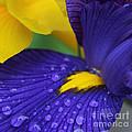 Raindrops Purple Dutch Iris Flower by Jennie Marie Schell
