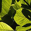 Rainforest Leaves Showing Sunlight by Hiroya Minakuchi