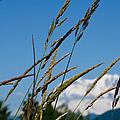Rainier Weeds by Tikvah's Hope