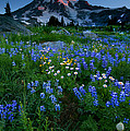 Rainier Wildflower Dawn by Mike  Dawson