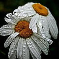 Rainy Day Daisies by Susan Herber