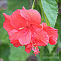Rainy Day Hibiscus by Carol Groenen