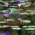 Rainy Day Lotus Flower Reflections Iv by Roy Williams