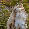 Ram-bunctious by James Anderson