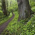Ramsons By Path In Woods, County Louth by Peter McCabe