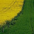 Rapeseed Growing In A Field, Ireland by The Irish Image Collection