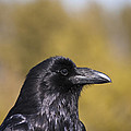 Raven by Derek Holzapfel