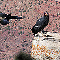 Raven Harassing Condor by Doris Potter