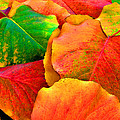 Really Colorful Fall Leaves by Sheila Kay McIntyre