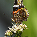 Red Admiral Butterfly by Barbara Bowen