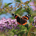 Red Admiral Butterfly by Ericamaxine Price