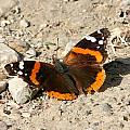 Red Admiral by Mark J Seefeldt