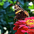 Red Admiral Probocis by Susan Herber