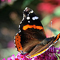 Red Admiral by Susan Herber